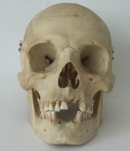 Human Skull, from Wikipedia