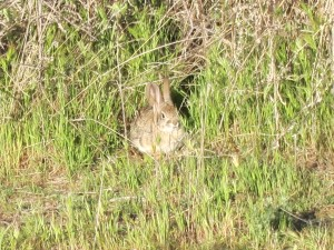 A Rabbit Hiding
